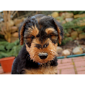 Miot'Y' airedale terrier